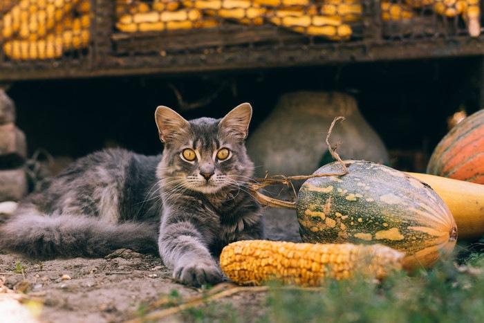 とうもろこしとカボチャと猫