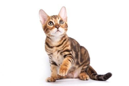 見上げるベンガル子猫