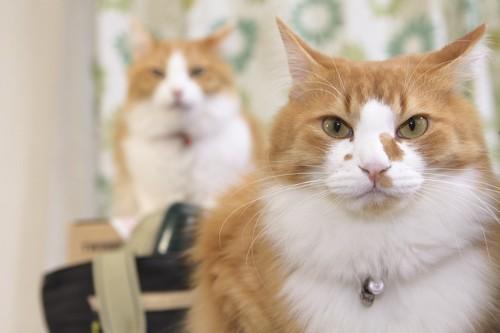 こちらを見つめる二匹の猫