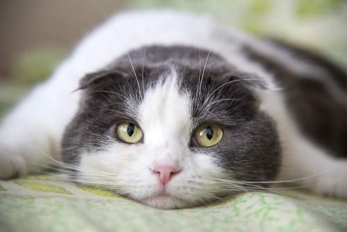 伏せて上目遣いをする猫