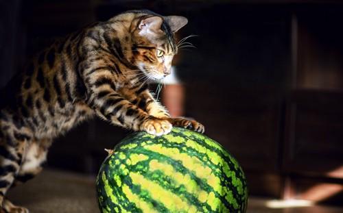 スイカをかじる猫
