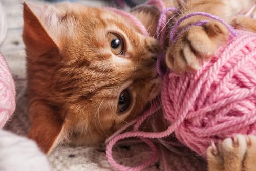 毛糸で遊ぶ茶トラ猫