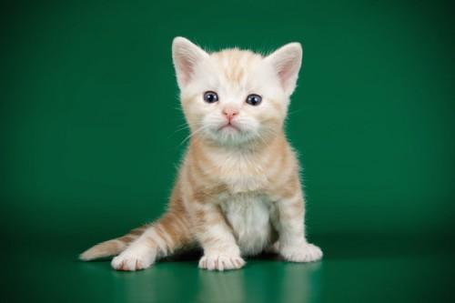 立ち上がってこちらをみるアメリカンショートヘアの子猫