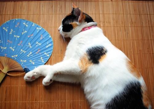 団扇の横に寝転がる三毛猫