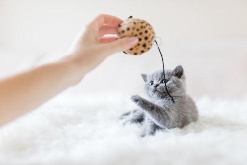 おもちゃで猫と遊ぶ