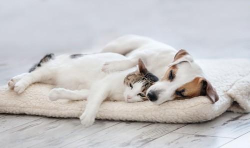 一緒に寝る猫と犬