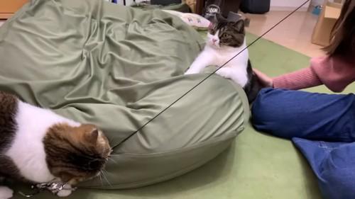 おもちゃで遊ぶ猫とお尻をなでられる猫