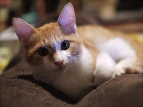 #毛布から起き上がり目をあけている猫#