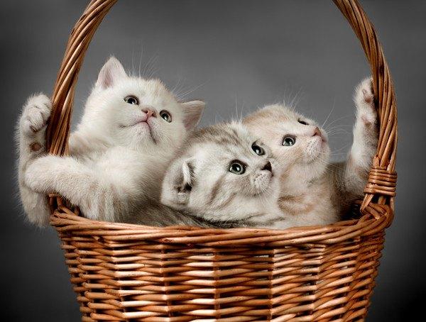 スコティッシュの子猫3匹