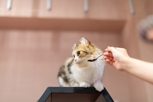 差し出されたスプーンから顔を背ける猫