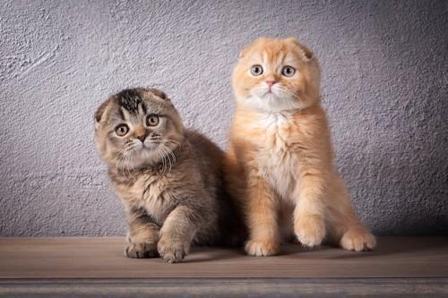 レッドとブラウンのスコティッシュフォールドの子猫