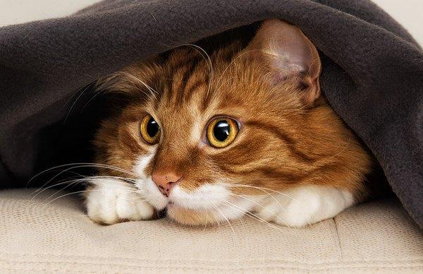 敷物の間から覗く茶白の猫