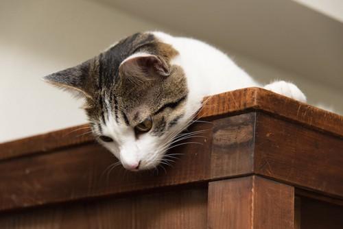 戸棚の上に乗って下を見る猫