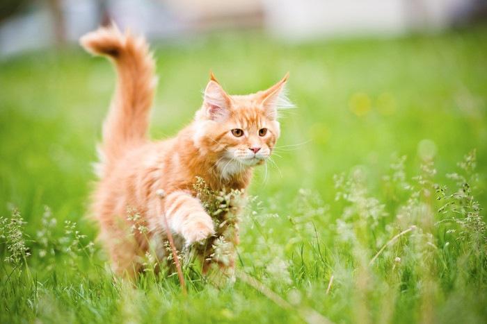 草むらを歩く猫