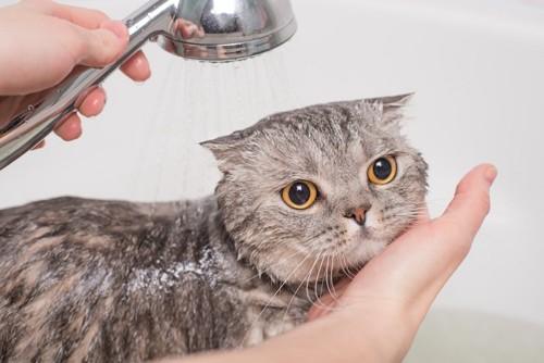 浴室でシャワーをかけられている猫