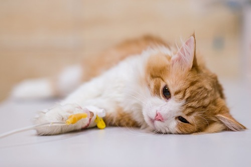 治療する猫