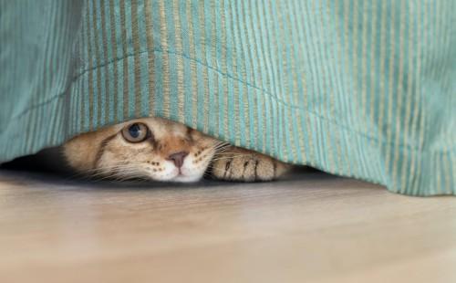 カーテンの下に隠れている猫