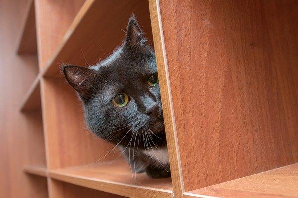 棚から顔を出す黒猫