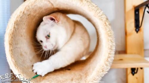 トンネルの中でおもちゃで遊ぶ猫