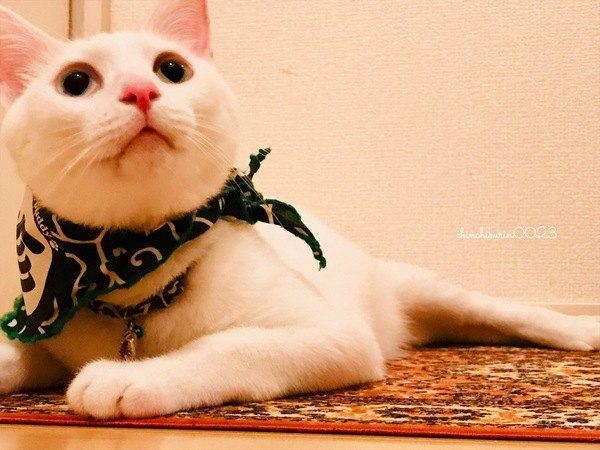 黒目が大きい白猫