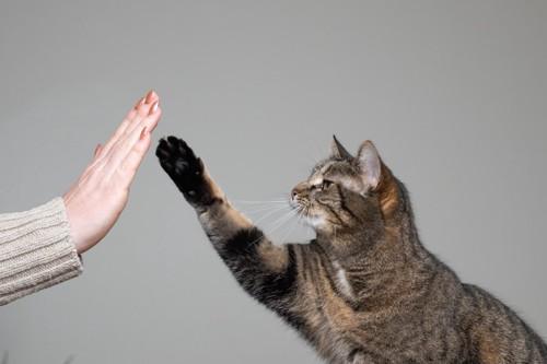 人の手にハイタッチをする猫