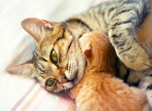母猫の首元で寝ている仔猫と抱いている母猫