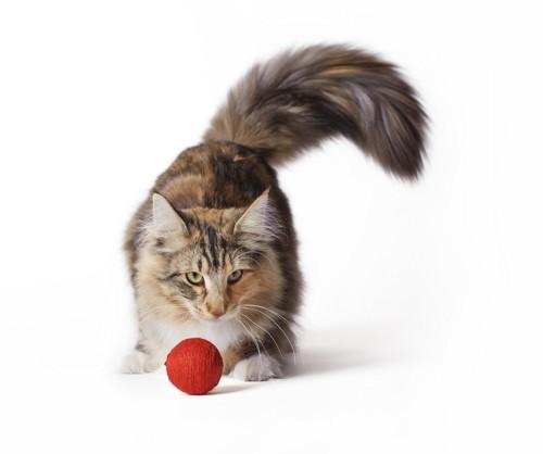ボールで遊ぶノルウェージャンフォレストキャット