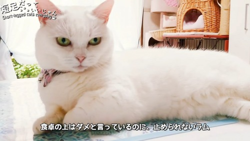 横になる白猫