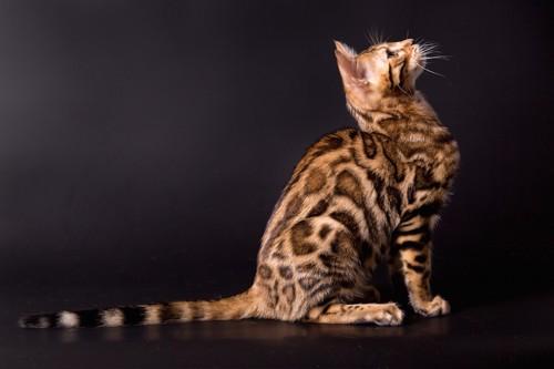 上を向いて座っているベンガル猫