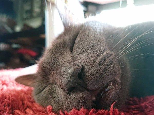 寝顔がシュールな猫