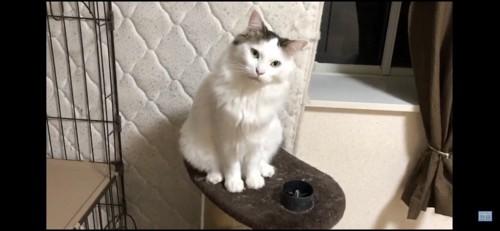 お座りして首を傾ける猫