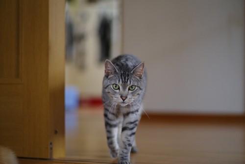 歩いてくる灰色の縞猫