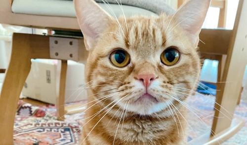 アメリカンショートヘアの猫