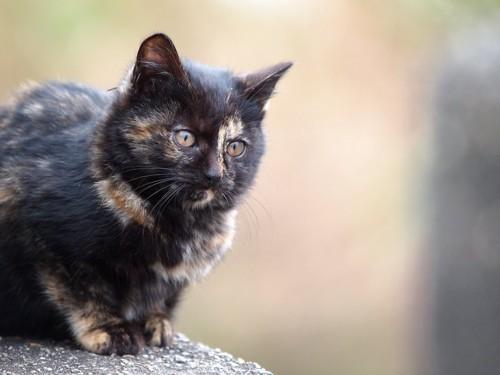 遠くを見つめるサビの子猫