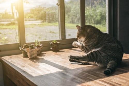 テーブルの上で毛づくろいする猫