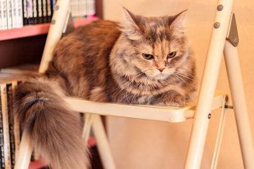 椅子の上の不満げな猫