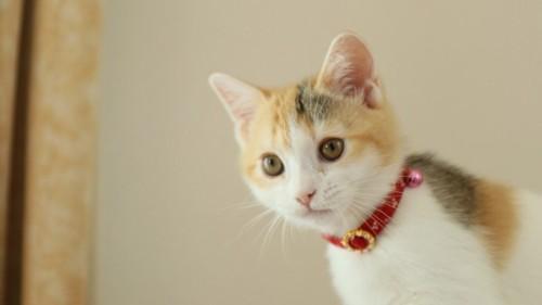 首輪をする子猫