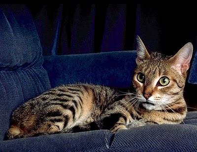カリフォルニアスパングルドという猫