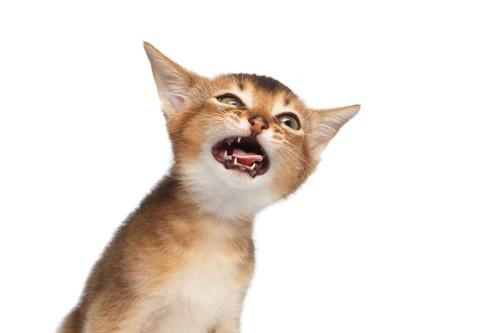 口を開けて訴えている子猫