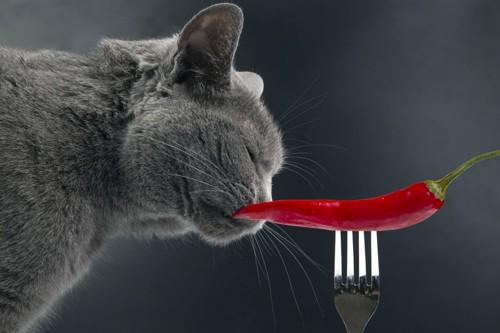 唐辛子のにおいをかぐ猫