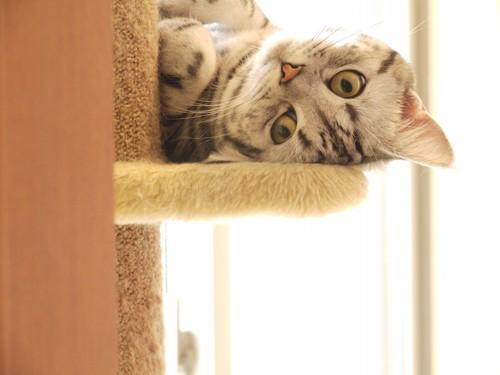 キャットタワーの上でリラックスする猫
