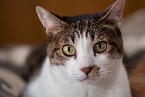 見つめる猫の顔