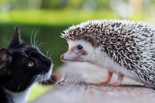 見つめ合う猫とハリネズミ