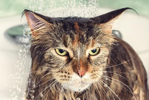 頭からシャワーをあびるキジ猫