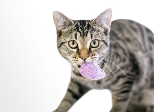 おもちゃを咥えて見つめる猫