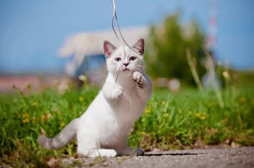 屋外でヒモで遊ぶマンチカンの子猫