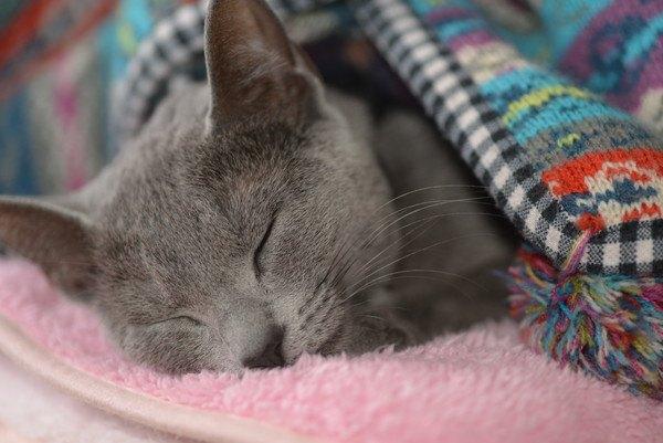 ベッドで寝る灰色の猫