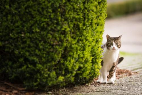茂みから覗く猫