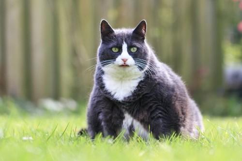 ぽっちゃりした猫