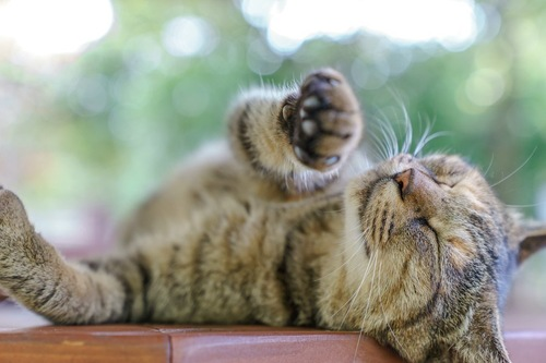 仰向けに寝転んでいる猫